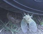 Cicada_sm