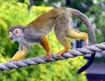 Monkey_AndeanTiti_sm