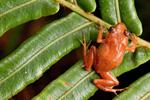 Frog_Macaya_sm