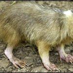 Haiti's Venomous Mammal