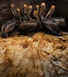 Oiled_Pelicans_sm