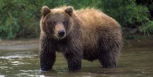 Grizzlies_a