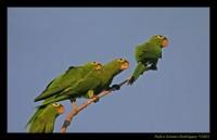 Parakeet_Hispaniola