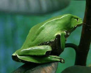 Amazonian frog