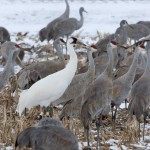 Whooping Crane Spotted in Jackson County, Fewer Than 500 in the Wild