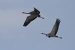 Cranes_sm