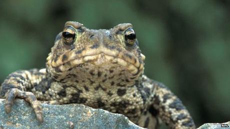 Toad_NPL
