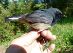 Blackthroat_luscinia_obscura_sm