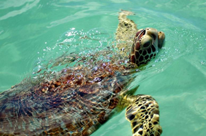 Caracol_Turtle_b