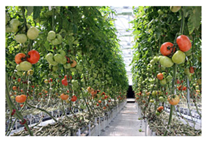 Evergreen_Coop_tomatoes