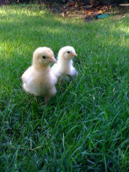 Urban_chicks