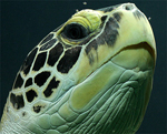 green-turtle-head