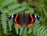 red_admiral_butterfly
