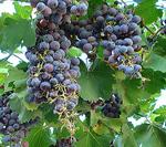 Argentina_Wine
