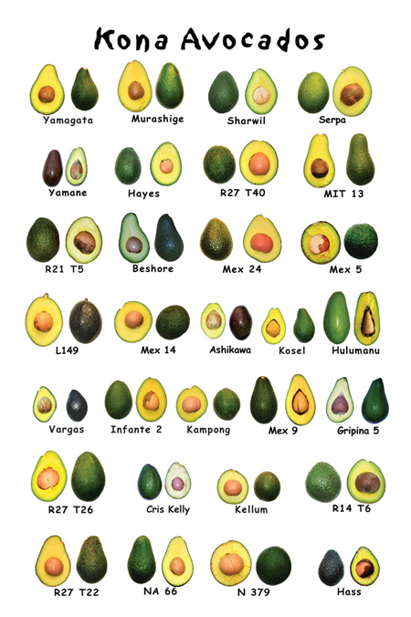 9b0c2af4783dd Since then avocado culture has spread to every country possessing the  tropical or subtropical climate that the trees require. In total tonnage  produced, ...