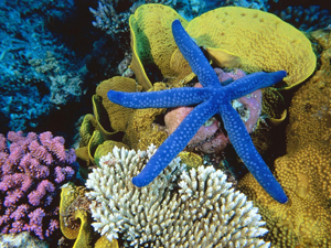 Coral_reef_BlueStarfish