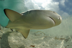 lemon-shark-sm