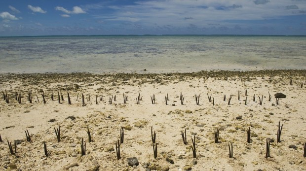 A view of mangrove shoots planted by Secretary-General Ban Ki-moon and others on Tarawa, an atoll in the Pacific island nation of Kiribati. Mr. Ban made an official visit to the area to discuss local people's concerns about the effects of climate change on this low-lying land.