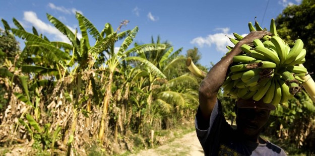 An Haitian worker carries a bunch of bananas in Cabaret. Bananas production is diminished because of the Sigatoka noir fungus.