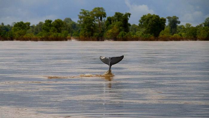 JimDavidson-IrrawaddyDolphin